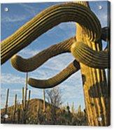 Saguaro Cacti Saguaro Np Arizona Acrylic Print