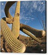 Saguaro Cactus Saguaro Np Arizona Acrylic Print