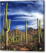 Saguaro Cactuses In Saguaro National Park Acrylic Print