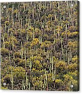 Saguaro Forest At The Foot Of Four Peaks Acrylic Print
