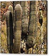 Saguaro Of Many Arms Acrylic Print