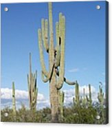 Saguaros With Green Grass Acrylic Print