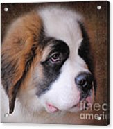 Saint Bernard Puppy Acrylic Print by Jai Johnson