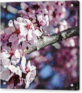 Sakura Blossoms Acrylic Print by Anthony Citro