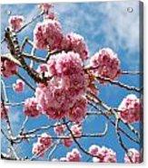 Sakura Tree Blossoms Acrylic Print