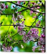 Sakura Tree In Bloom - Featured 3 Acrylic Print