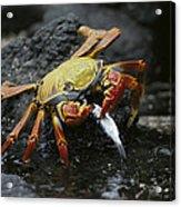 Sally Lightfoot Crab Feeing Galapagos Acrylic Print