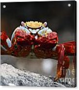 Sally Lightfoot Crab Galapagos Acrylic Print
