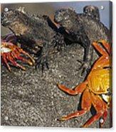 Sally Lightfoot Crabs And Marine Acrylic Print