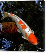 Salmon And White Koi Acrylic Print