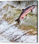 Salmon Jumping Issaquah Hatchery Acrylic Print