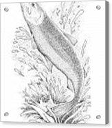Salmon Acrylic Print