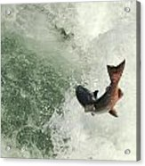 Salmon Run 2 Acrylic Print by Mamie Gunning