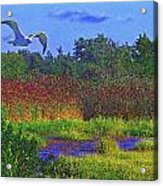 Salt Marsh Gull Acrylic Print