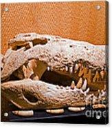 Salt Water Crocodile Skull Acrylic Print