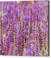 Salvia Abstract Acrylic Print