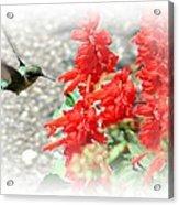 Salvia Approach Acrylic Print
