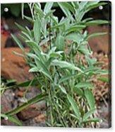 Salvia Officinalis Sage Acrylic Print