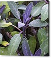 Salvia Officinalis Var. Purpurascens Acrylic Print