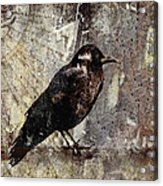 Same Crow Different Day Acrylic Print