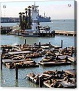 San Francisco Pier 39 Sea Lions 5d26102 Acrylic Print