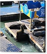 San Francisco Pier 39 Sea Lions 5d26105 Acrylic Print by Wingsdomain Art and Photography