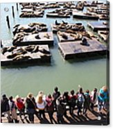 San Francisco Pier 39 Sea Lions 5d26111 Acrylic Print by Wingsdomain Art and Photography