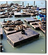 San Francisco Pier 39 Sea Lions 5d26115 Acrylic Print by Wingsdomain Art and Photography