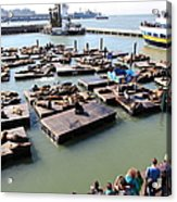 San Francisco Pier 39 Sea Lions 5d26116 Acrylic Print by Wingsdomain Art and Photography