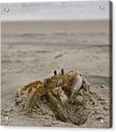Sand Crab Acrylic Print by Nelson Watkins