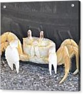 Sand Crab Up Against The Sidewall Acrylic Print
