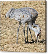Sand Hill Cranes Eat Togeather Acrylic Print