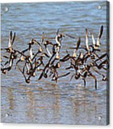 Sand Pipers Arrive At The Grp Acrylic Print