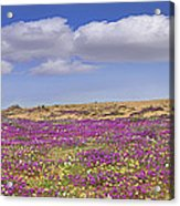 Sand Verbena On The Imperial Sand Dunes Acrylic Print