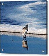 Sanderling 003 Acrylic Print