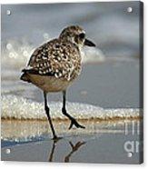 Sanderling Gulf Of Mexico Acrylic Print