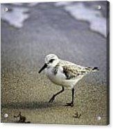 Sanderling On The Shore Acrylic Print