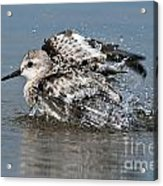 Sanderling Pictures 29 Acrylic Print