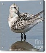 Sanderling Pictures 32 Acrylic Print