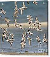 Sanderlings And Dunlins In Flight Acrylic Print
