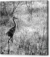 Sandhill Chick In The Marsh - Black And White Acrylic Print