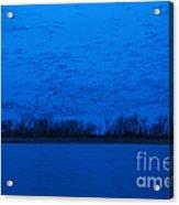 Sandhill Crane Blue Hour Acrylic Print