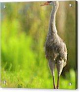 Sandhill Crane Chick, Grus Canadensis Acrylic Print