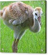 Sandhill Crane Chick I Acrylic Print