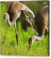 Sandhill Crane Chick Stretching Acrylic Print