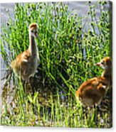 Sandhill Crane Chicks  Acrylic Print