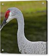 Sandhill Crane Close Up Acrylic Print