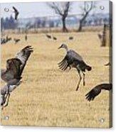 Sandhill Crane Dance Acrylic Print