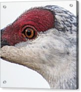 Sandhill Crane Eye Acrylic Print