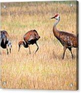Sandhill Crane Family I Acrylic Print